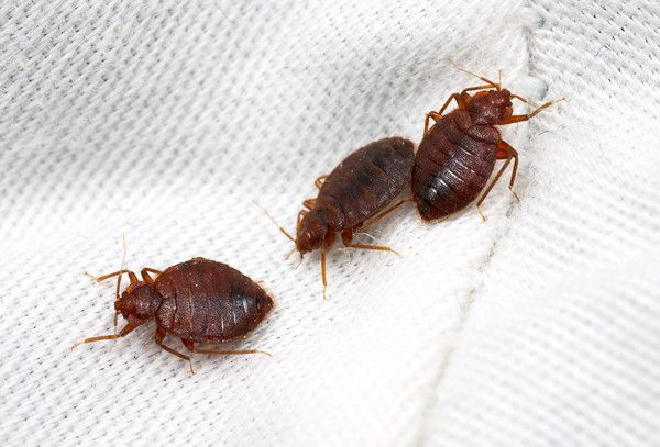 bed bugs Bed Bug Laws in Idaho - Boise, Meridian, Nampa, Idaho Falls, and Pocatello bed bug lawyer attorney sue compensation